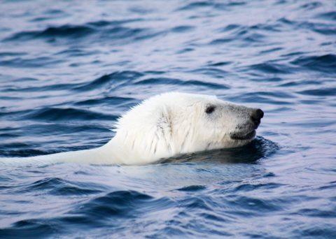 Nanoq Polar Bear Beechey Island Erebus and Terror Bay Nunavut Canada