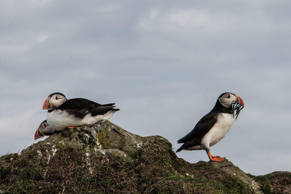 2806 Puffins, Mykines, Faroe Islands