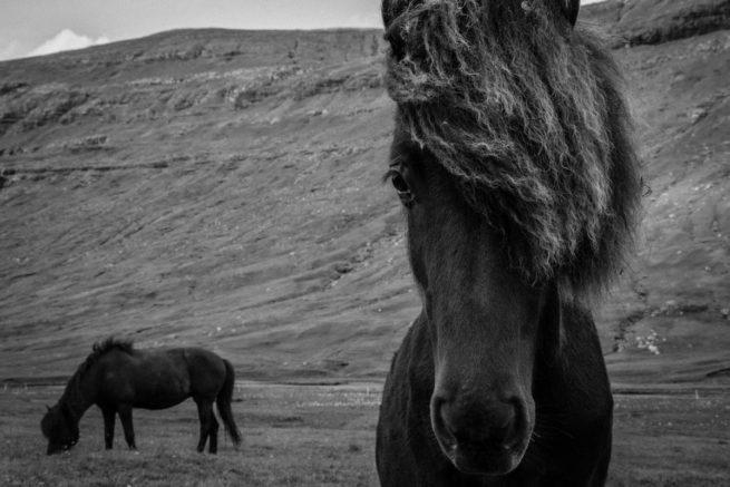 Portrait of Faroese Horses, Streymoy, Faroe Islands