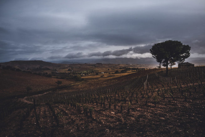 Fields of vines in the autumn light approaching Villafranca del Bierzo, Camino de Santiago (Camino Frances)