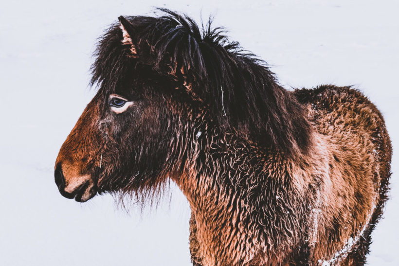 Portrait of a young Icelandic Horse, Iceland
