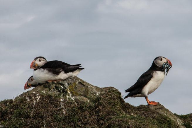 Puffins resting after a fishing trip, Mykines, Faroe Islands