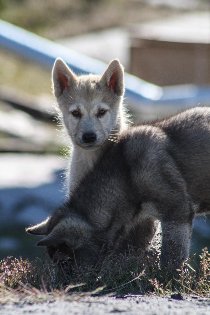 Greenlandic sled dogs, Aassiaat, Greenland