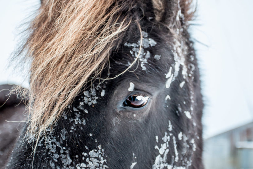 Close-up of an Icelandic horse in mid-winter, Iceland