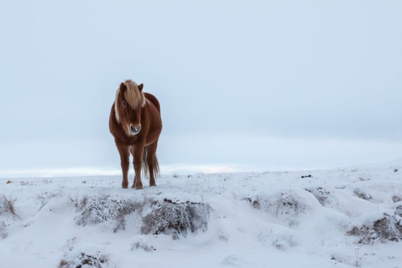 Icelandic horse on a snowy mid-winter day, Iceland