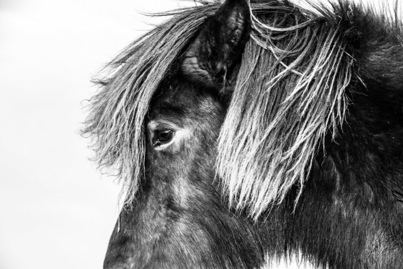 Close-up black and white portrait of an Icelandic Horse, Iceland
